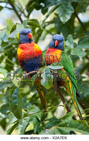 rainbow lory (Trichoglossus haematodus), couple on a twig, Australia, Queensland - Stock Photo