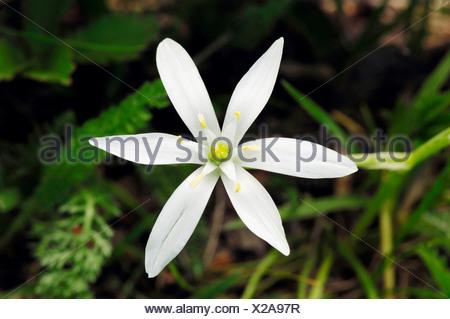 Common Star of Bethlehem (Ornithogalum umbellatum), Provence, Southern France, France, Europe - Stock Photo