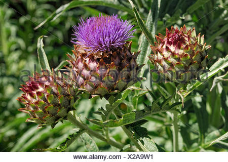 Wild artichoke or cardoon (Cynara cardunculus), Christchurch, South Island, New Zealand - Stock Photo