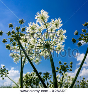 Hogweed looking up from low view to blue sky - Stock Photo