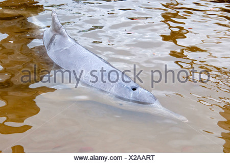 Chinese White Dolphin, Indo-Pacific Humpback Dolphin (Sousa chinensis), dolphin feeding, Australia, Queensland, Tin Can Bay - Stock Photo