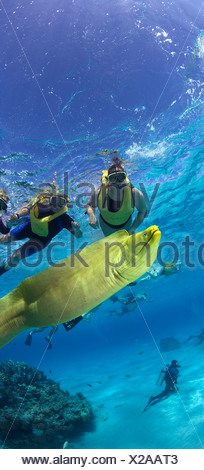 Snorkelers and Green moray eel (Gymnothorax funebris) Grand Cayman British West Indies - Stock Photo