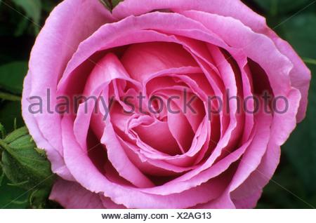 Rosa Mrs John Laing Hybrid Perpetual Rose - Stock Photo