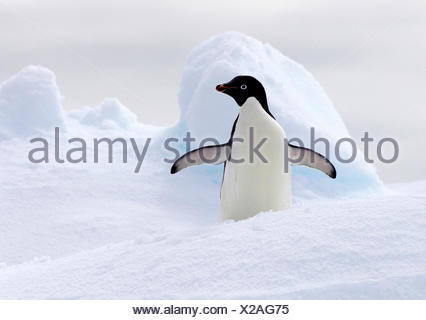 Adelie Penguin on ice floe in the southern ocean, 180 miles north of East Antarctica, Antarctica - Stock Photo