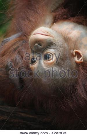 Orangutans - Stock Photo
