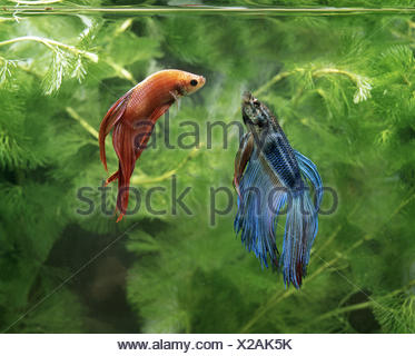 Fighting Fish, betta splendens, Pair - Stock Photo