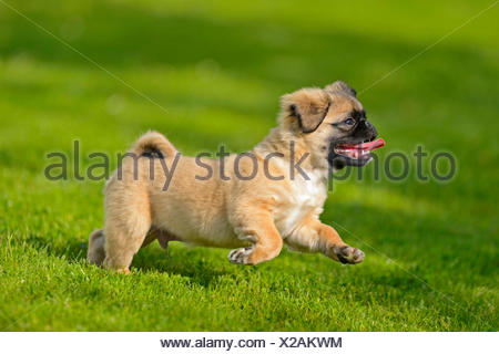 Pug (Canis lupus f. familiaris), chug, dog puppy walking in a meadow, Germany - Stock Photo