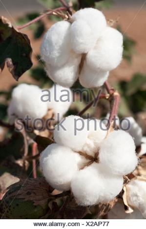 Gossypium, Cotton - Stock Photo