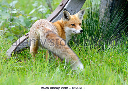 Red Fox (Vulpes vulpes), Canton of Zurich, Switzerland - Stock Photo