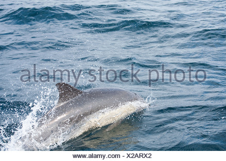 Common Bottlenose Dolphin (Tursiops truncatus), Nelson Mandela Bay, Port Elizabeth, Eastern Cape Province, South Africa - Stock Photo