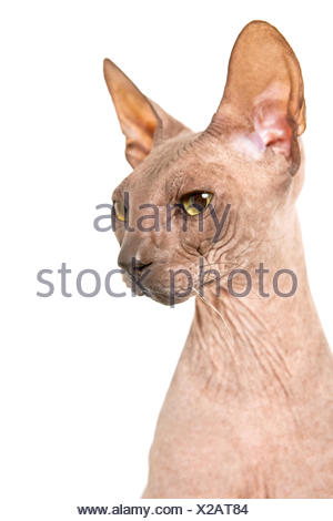 Don Sphynx on isolated white - Stock Photo
