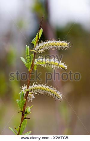 Purpur-Weide, Purpurweide (Salix purpurea), maennliche Bluetenkaetzchen, Deutschland | purple osier, purple willow, basket willo - Stock Photo