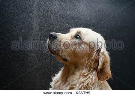 Golden Retriever - portrait - Stock Photo