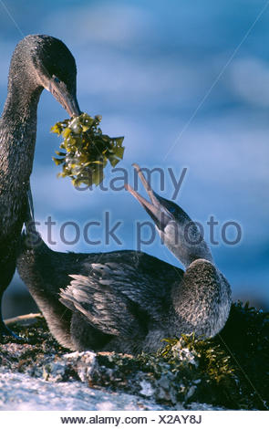 Male Galapagos Flightless cormorant offering seaweed to female {Nannopterum harrisi} - Stock Photo