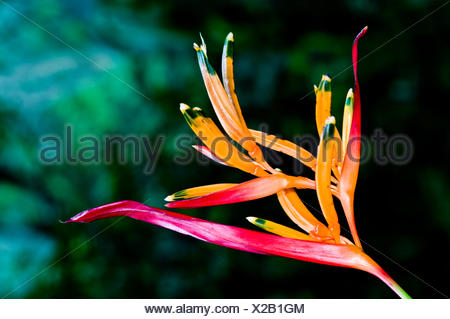 Dazzling pink and orange Heliconia petals add colour to the rainforest understory. - Stock Photo
