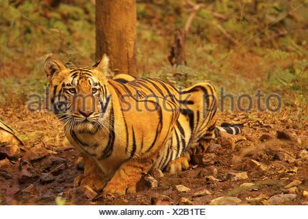 Tiger- Chandi male cub, Panthera tigris, Umred-Karhandla Sanctuary, Maharashtra, India - Stock Photo