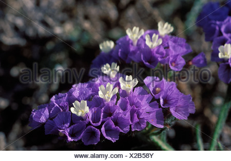 Perez s Sea Lavender Seafoam Statice Limonium sinuatum Spain - Stock Photo