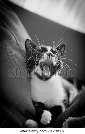 Turkey, Istanbul, Cat yawning - Stock Photo