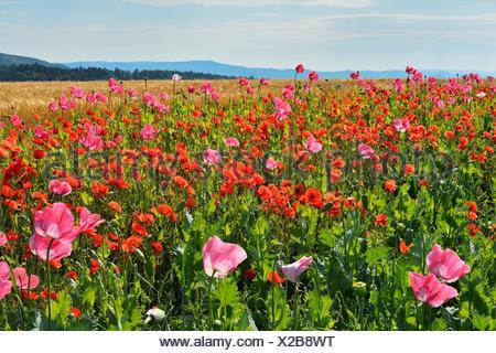 Opium Poppy, Papaver somniferum, and Corn Poppy, Papaver rhoeas, Field, Summer, Germerode, Hoher Meissner, Werra Meissner - Stock Photo