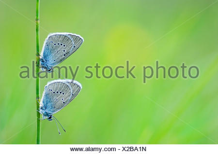 Two Mazarine Blue's together on a blade of grass in an alpine meadow in Austria - Stock Photo