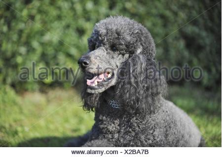 Poodle Portrait - Stock Photo