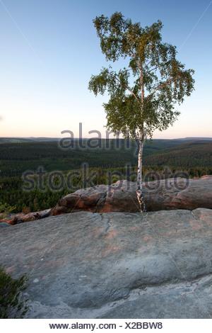 Birch (Betula sp.), evening mood, Pfaffenstein table mountain in the Elbe Sandstone Mountains, Saxony - Stock Photo