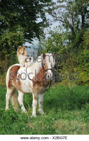 American Shetland Pony with a Shetland Sheepdog, or Sheltie, and a Birman Cat on its back - Stock Photo