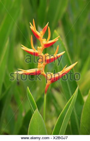 Lobster-claw (Heliconia psittacorum) flowering, Kota Kinabalu, Sabah, Borneo, Malaysia - Stock Photo