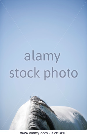 detail of white horse - Stock Photo