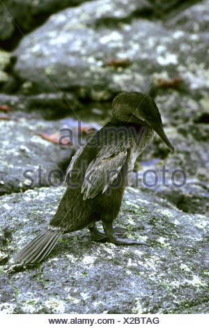 Flightless Cormorant, Galapagos Cormorant (Nannopterum harrisii, Phalacrocorax harrisii), staning on a rock, Ecuador, Galapagos Islands - Stock Photo