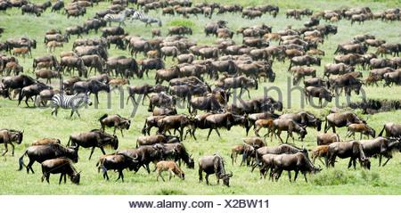 Massing herds of White-bearded Wildebeest on migration, Ndutu, Serengeti, Tanzania - Stock Photo