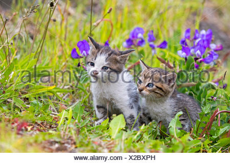 Tabby kittens in the grass - Torres del Paine Chile - Stock Photo