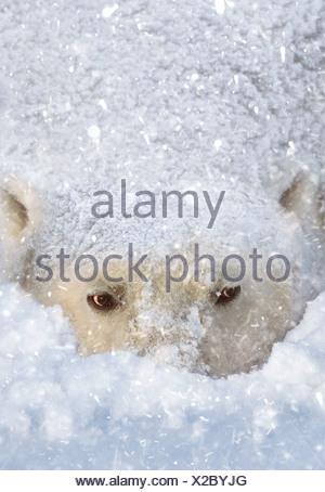 Polar bear in the snow Cape Churchill Manitoba Canada - Stock Photo