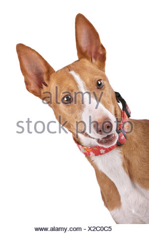 pets, closeup, animal, pet, mammal, brown, brownish, brunette, dog, studio, - Stock Photo