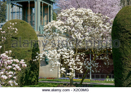 Tulpen-Magnolie, Tulpenmagnolie, Amabilis (Magnolia 'Amabilis', Magnolia Amabilis), Sorte Amabilis   magnolia (Magnolia 'Amabili - Stock Photo