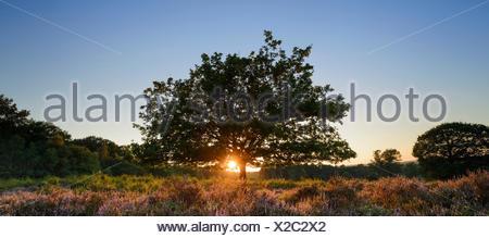 Sunrise on the heath, broom blossoms, Wahner Heide, Troisdorf, North Rhine-Westphalia, Germany - Stock Photo