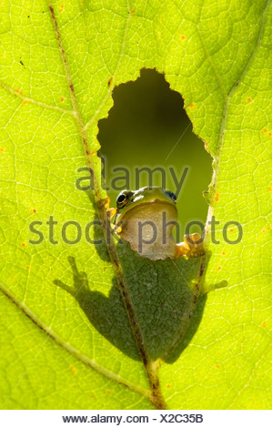 Tree Frog (Hyla arborea), climbing on a leaf and looking through a hole, silhouette in back light, Bavaria, Germany - Stock Photo