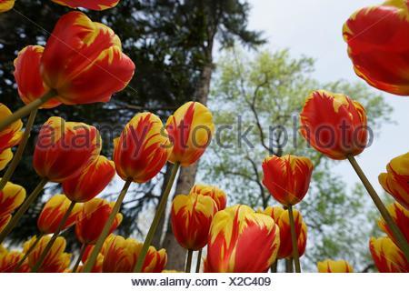 Tulip Helmer. Tulip Festival. Istanbul. Turkey - Stock Photo