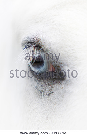 Gypsy Vanner Horse - Stock Photo