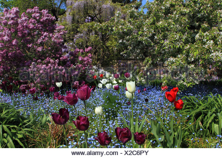 common garden tulip (Tulipa gesneriana), garden in spring with Common lilac, , Germany - Stock Photo