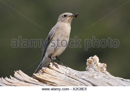Mountain bluebird (Sialia currucoides) female with large ant on Colorado bristlecone pine log (Pinus aristata) Mount Goliath Nat - Stock Photo