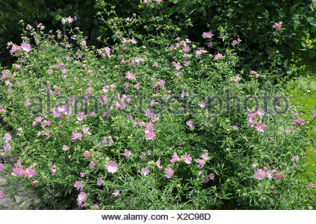 Greater musk-mallow - Stock Photo
