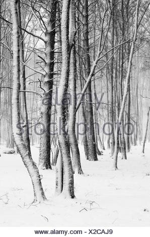 Snow covered tree trunks close-up - Stock Photo