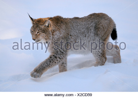 Eurasian lynx (Lynx lynx), adult walking through the snow, Germany - Stock Photo