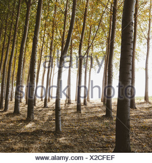 Cottonwood trees planted in ordered rows casting long shadows on the ground Commercial arboriculture a tree nursery or farm - Stock Photo