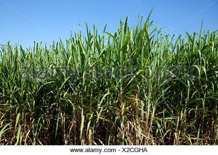 Sugar cane field near Saint-Pierre, La Reunion island, Indian Ocean - Stock Photo