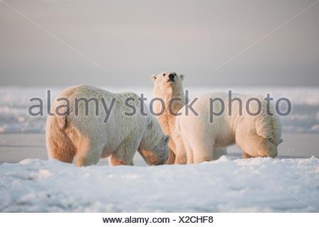Endangered,Cub,Alaska,Polar Bear,Wildlife - Stock Photo