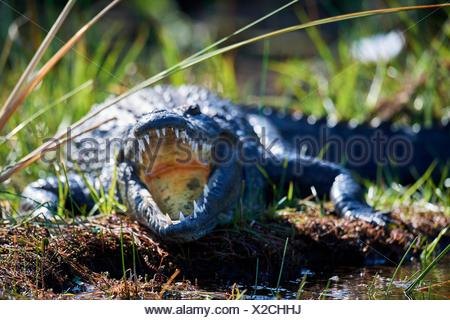 Nile crocodile (Crocodylus niloticus) resting with mouth open to regulate body temperature. Moremi National Park, Okavango delta, Botswana, Southern - Stock Photo