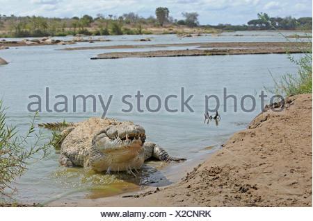 Nile crocodile (Crocodylus niloticus) lying in a river bank, Tsavo East National Park, Kenya - Stock Photo
