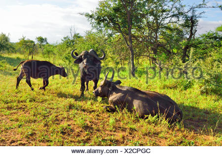 African buffalo (Syncerus caffer), two feeding African buffalos with young animal, Sued Afrika, Krueger National Park - Stock Photo